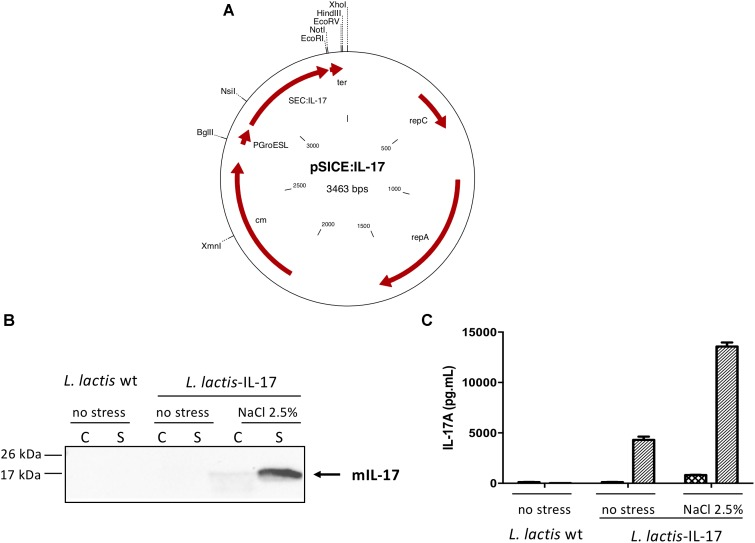 Anti-tumoral Effects of Recombinant Lactococcus lactis Strain Secreting IL-17A Cytokine.
